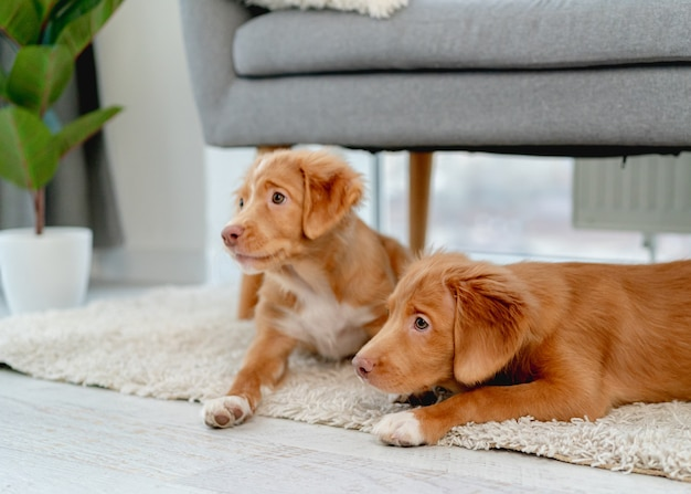 Couple de chiots toller à la recherche de côté en position couchée sous un canapé à la maison