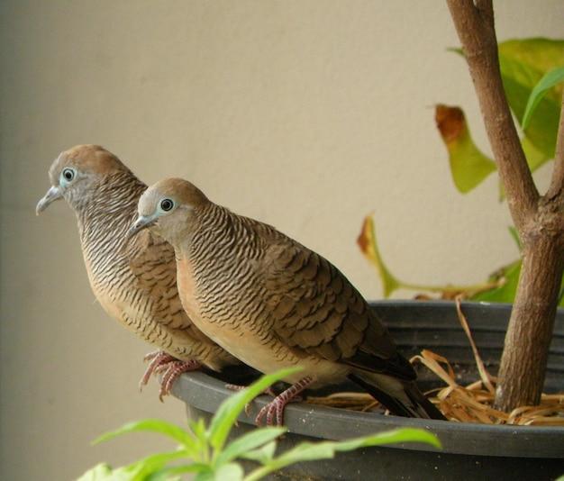 Couple de colombe zèbre sauvage se détendre ensemble dans la jardinière