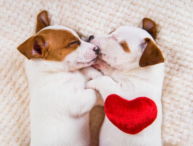 Couple de deux chiens chiots jack russell terrier drôle amoureux