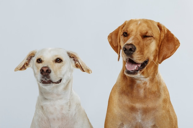 Couple de deux chiens expressifs posant en studio sur fond blanc