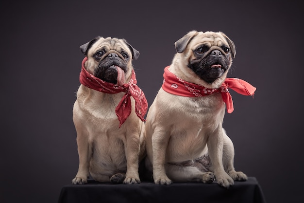 Couple de deux chiens de race carlin assis.