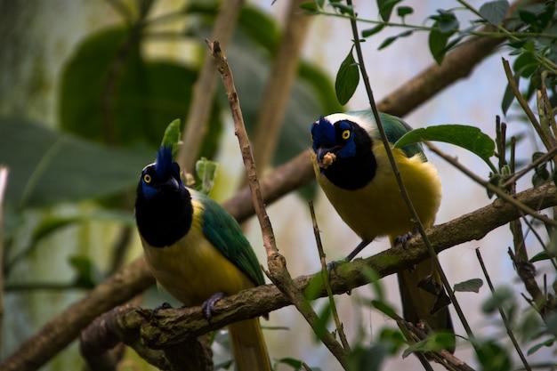 Couple de geai vert (cyanocorax yncas)