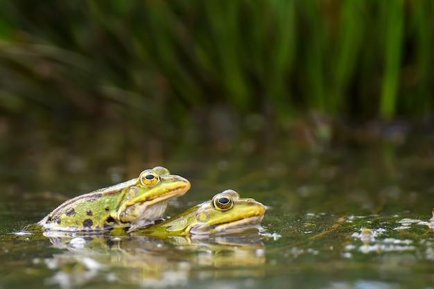 Couple de grenouilles rousses dans un étang. couple d'animaux sont assis dans la rivière au printemps