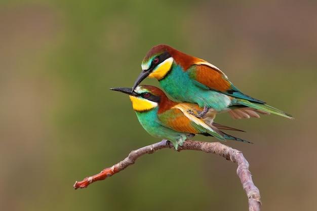 Couple de guêpier d'europe copulant sur une branche pendant la saison des amours