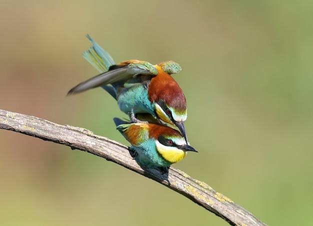 Un couple de guêpiers adultes (merops apiaster) a été photographié lors d'un rituel d'alimentation et de copulation. photo lumineuse en gros plan sur un arrière-plan magnifiquement flou