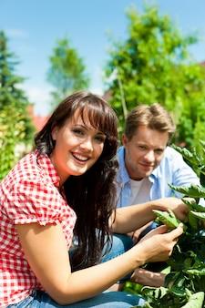 Couple heureux récolte des tomates dans leur jardin