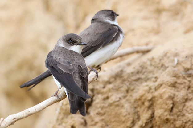 Un couple d'hirondelles de rivage, hirondelle de rivage près du nid.