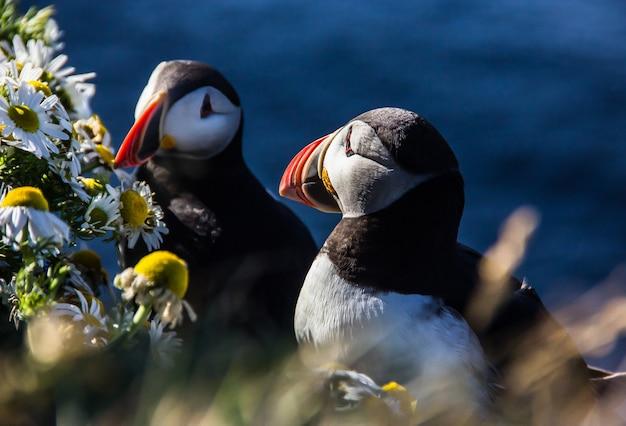 Couple d'oiseaux islandais macareux debout dans les buissons de fleurs sur la falaise rocheuse à latrabjarg