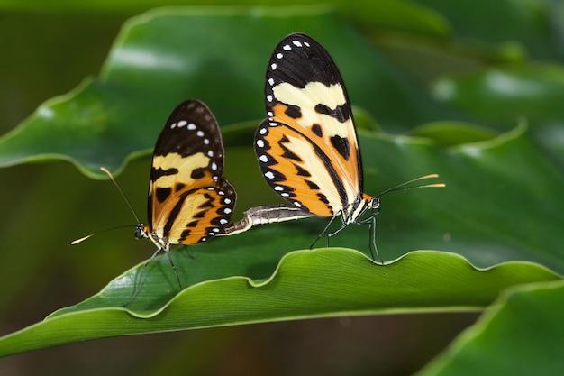 Couple de papillon sur feuille