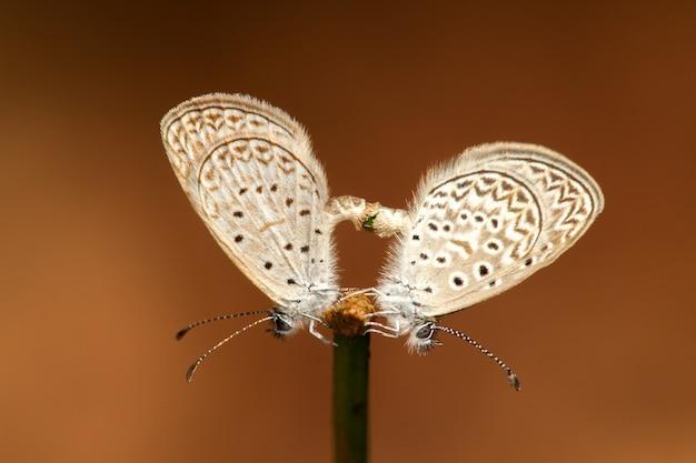 Couple de papillon