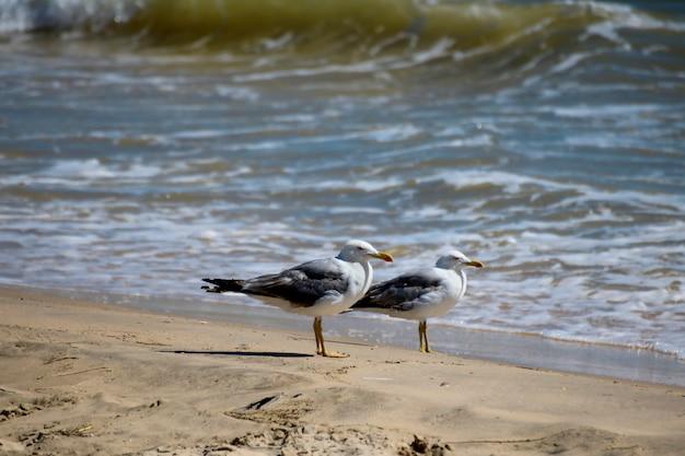Couple de pattes jaunes (mouetteslarus michahellis) dans les plages du parc national.