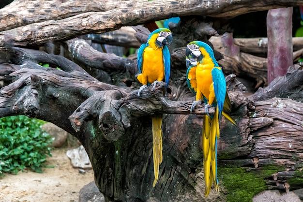 Un couple de perroquet d'ara coloré sur une branche d'arbre.
