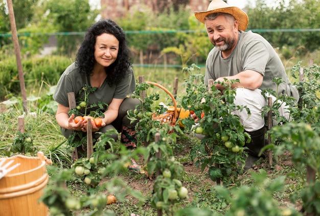 Couple de personnes âgées récoltant des tomates