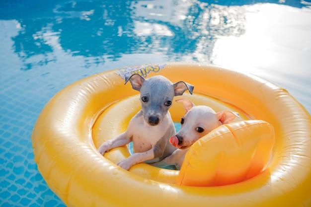 Un couple de petits chiots mignons (american hairless terrier) flottant dans une piscine