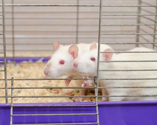 Un couple de rats de laboratoire blancs curieux à la recherche d'une cage