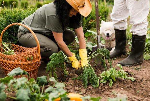 Couple senior récolte des carottes