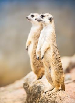 Couple suricate