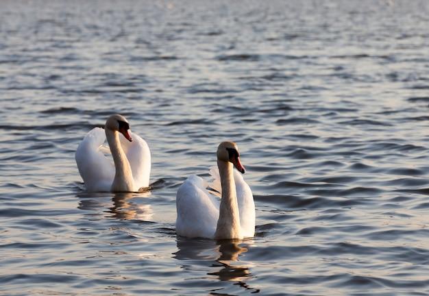 Couple Swan Au Printemps Au Bord Du Lac Photo Premium