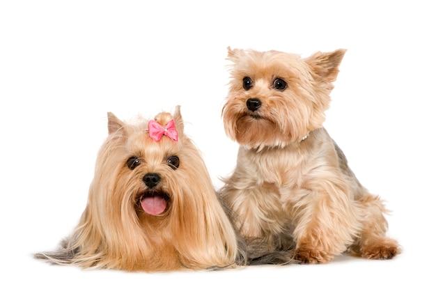 Couple de yorkshire terrier