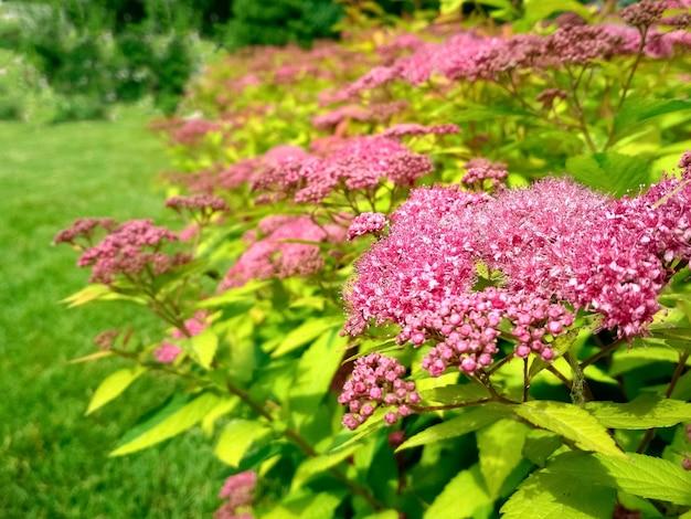 La cour avant dans la conception de paysage de jardin de printemps avec pelouse vert vif et fleurs spiraea
