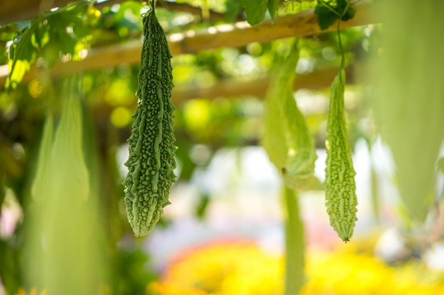 La courge amère est également connue sous le nom de melon amer ou de poire baumier