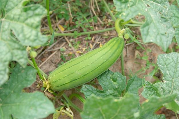 Courgette verte au sol dans le jardin