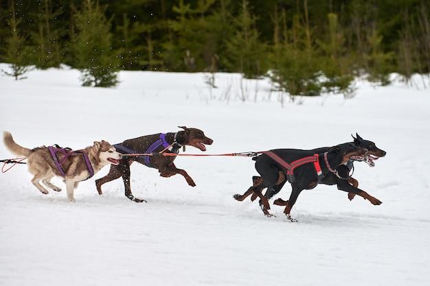 Courir des chiens de traîneau doberman en hiver