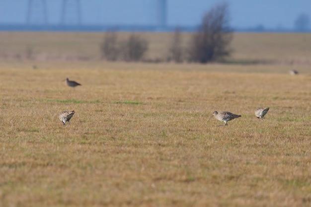 Courlis eurasien (numenius arquata) à la recherche de nourriture dans un champ près des marais d'elmley
