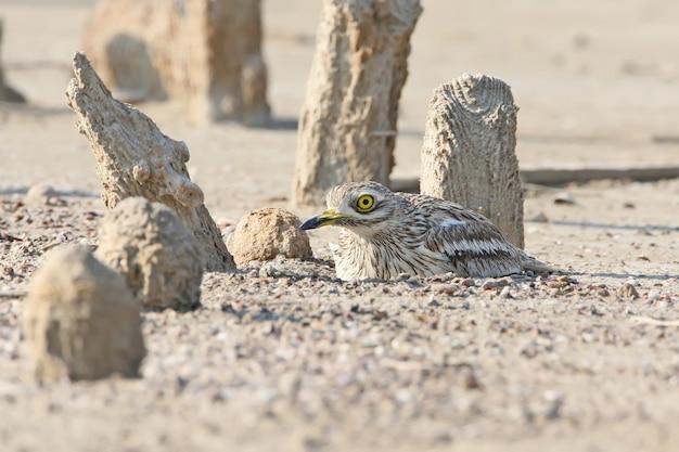 Le courlis en pierre dans l'habitat naturel sur le nid.