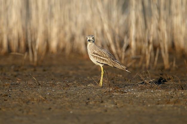 Courlis en pierre eurasien. oiseau rare et exotique dans son habitat naturel