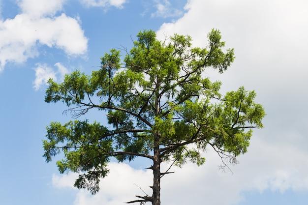 Couronne d'un énorme pin contre le ciel bleu. sommet du pin sur le fond du ciel bleu ensoleillé.