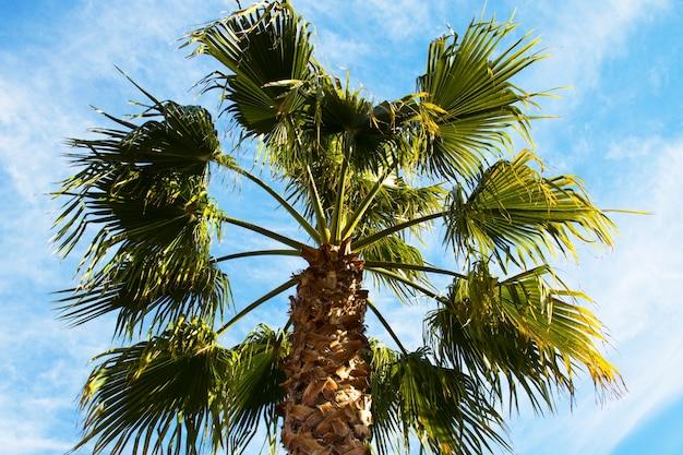 La couronne d'un palmier contre un ciel bleu. le concept de vacances dans les pays tropicaux, vacances à la mer
