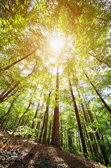Couronnes d'arbres dans la forêt de printemps contre le ciel avec les rayons du soleil