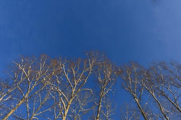 Couronnes enneigées de bouleaux sur fond de ciel bleu sans nuages
