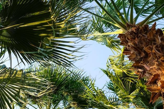 Couronnes de palmier contre le ciel bleu. vue de dessous sur les palmiers. photo de haute qualité