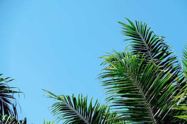 Couronnes de palmier avec des feuilles vertes sur fond de ciel ensoleillé. cime des cocotiers - vue depuis le sol.