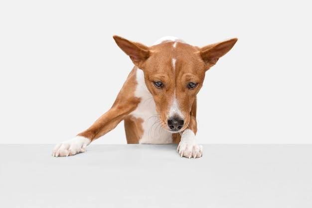 En cours. mignon chiot doux de basenji mignon chien ou animal de compagnie posant avec ballon isolé sur mur blanc. concept de mouvement, amour des animaux de compagnie, vie animale. il a l'air heureux, drôle. copyspace pour l'annonce.