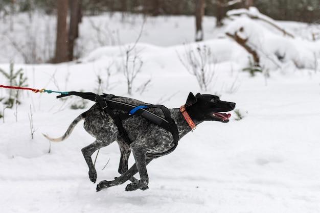 Course de chiens de traîneau. chien de traîneau pointeur dans le harnais et tirer le conducteur de chien. compétition de championnat de sports d'hiver.