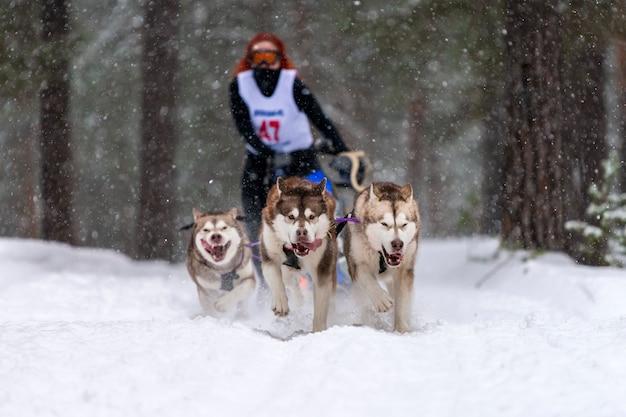 Course de chiens de traîneau. l'équipe de chiens de traîneau husky tire un traîneau avec un conducteur de chien. compétition d'hiver.