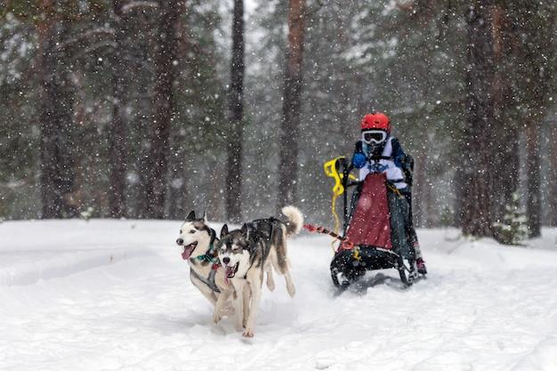 Course de chiens de traîneau. l'équipe de chiens de traîneau husky tire un traîneau avec un musher de chien. compétition d'hiver.