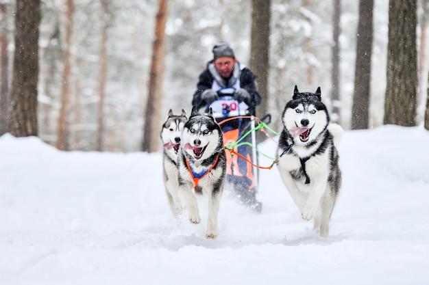 Course de chiens de traîneau husky sibérien