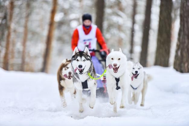 Course de chiens de traîneau husky