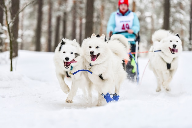 Course de chiens de traîneau samoyède