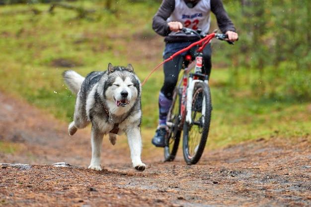 Course de mushing de chien de traîneau à vélo. les chiens de traîneau husky tirent un vélo avec un chien musher. concours d'automne.