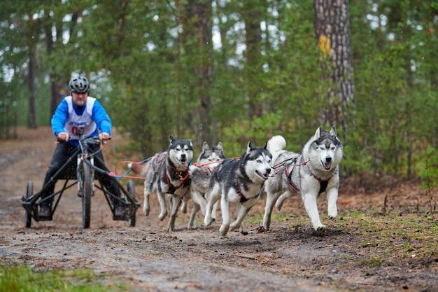 Course de mushing pour chiens