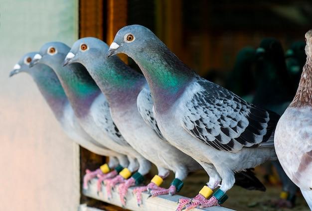 Course de pigeons dans le loft à domicile