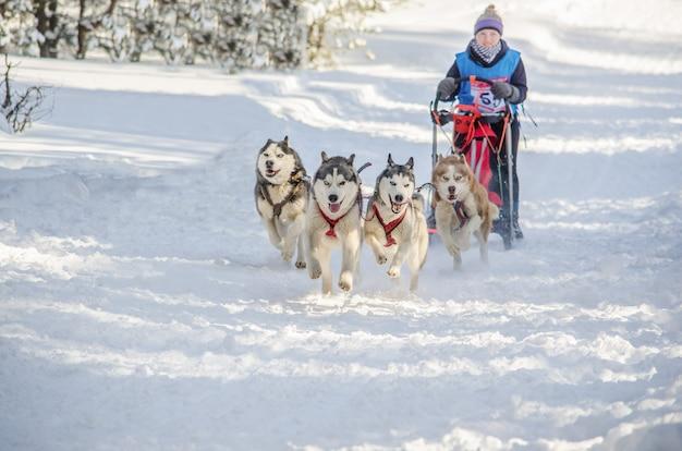 Course de traîneaux à chiens. équipe de musher et chien husky