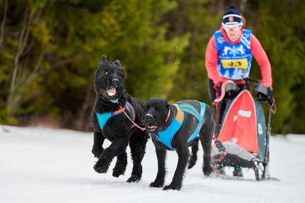 Course de traîneaux à chiens schnauzer géants