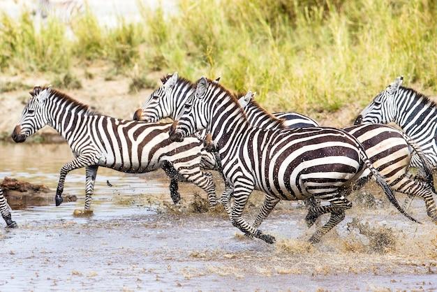 Course de zèbres africains dans le serengeti en tanzanie, en afrique. courir ensemble dans l'eau.