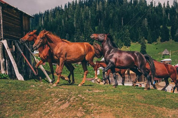 Courses de chevaux sauvages dans les montagnes